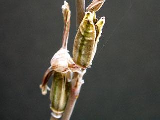 ハオルチア種子1