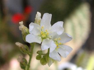 アフリカナガバモウセンゴケ花