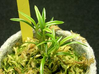 Den. hellwigianum