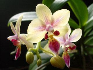 ミニ胡蝶蘭2