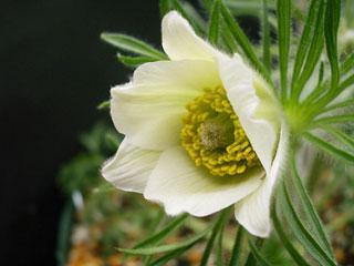 白花オキナグサ1