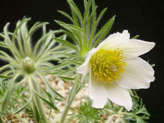 白花オキナグサ2