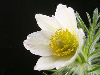 白花オキナグサ3