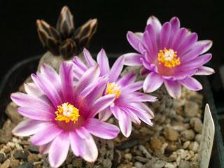 バラ丸開花1