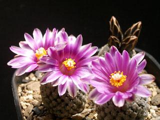 バラ丸開花2