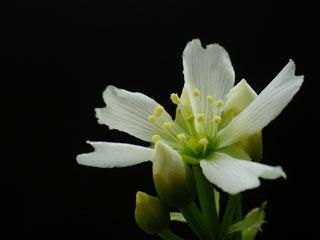 ハエトリソウの花2