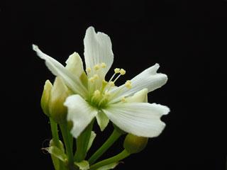 ハエトリソウの花1