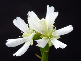 ハエトリソウの花3