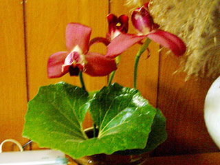 リカステ切り花